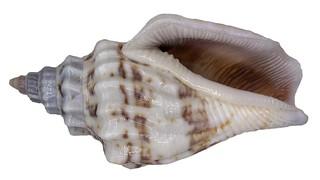 Strombus (=Canarium) labiatus olydus Duclos, 1844