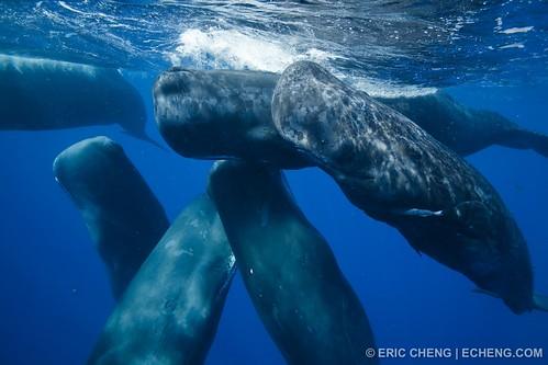Sperm whale social group