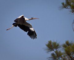wood-stork-headed-for-the-woods