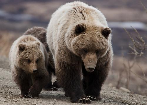 無料写真素材, 動物 , 熊・クマ, 動物  親子