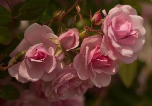 rose ancienne 'Tea rambler'