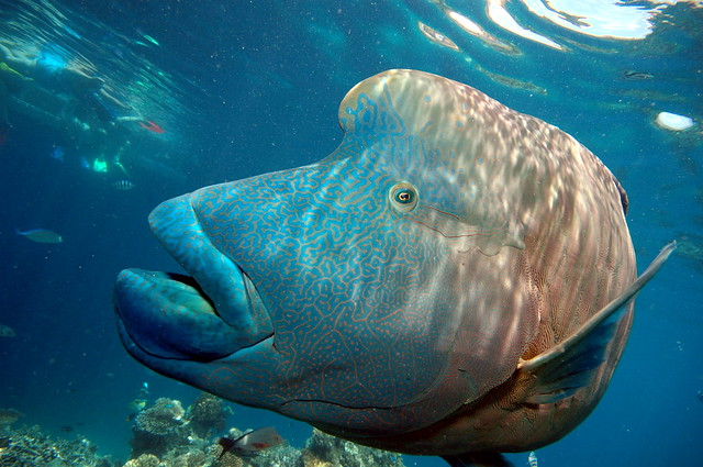 humphead wrasse great barrier reef this fish is a