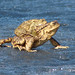 Common Toads on frozen lake by Wild Chroma