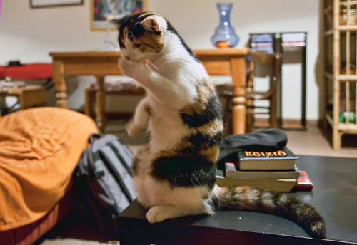 Romina, the standing cat | gatto | chat
