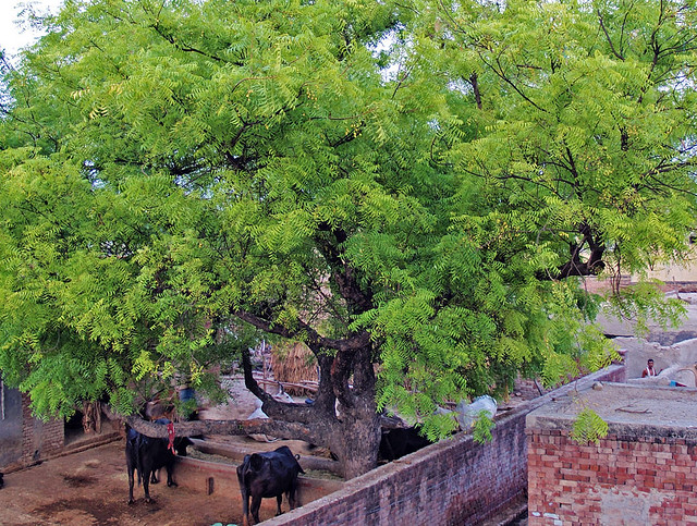 Neem Tree in Indian Village Courtyard P7060308om | Flickr - Photo ...