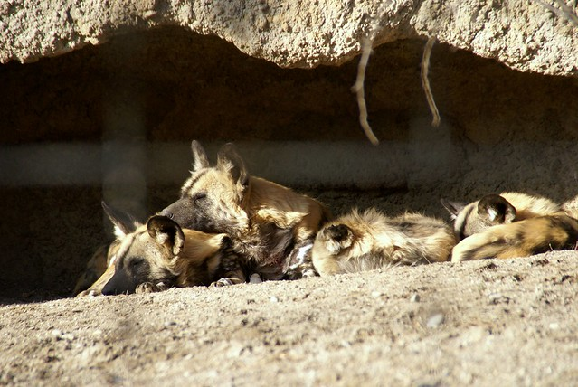 Wildhunde (wild dogs)