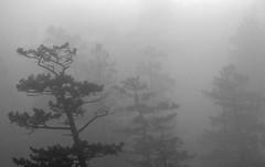 trees-fog-zen