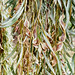 Small photo of Acacia pendula Seed Pods
