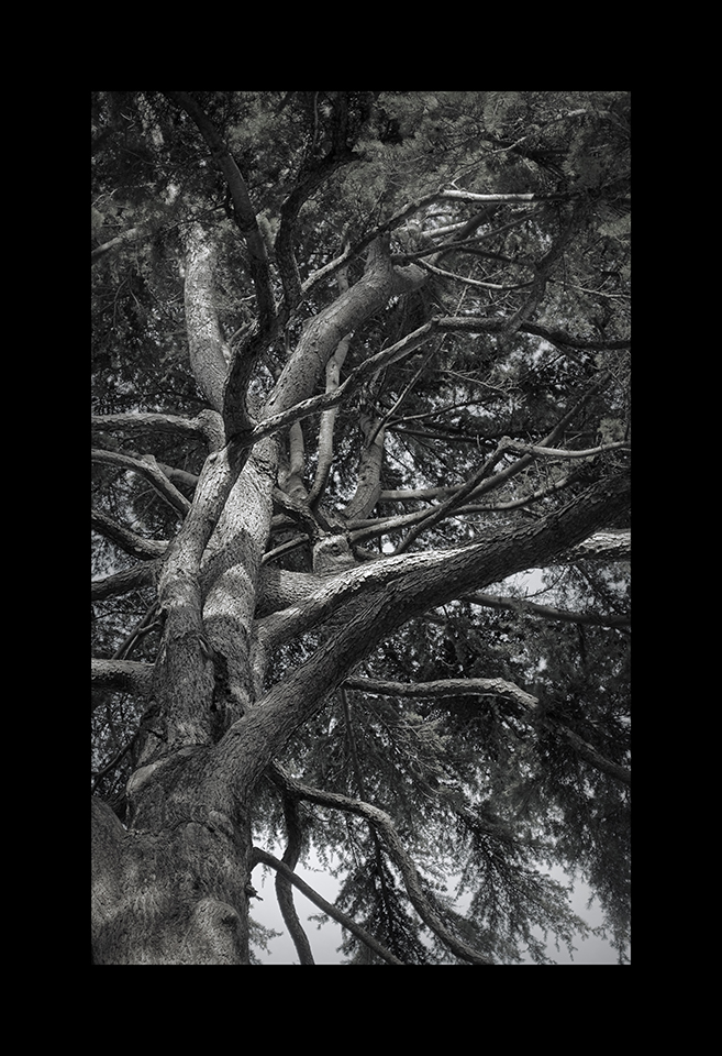 Photography: Deodar Cedar by Nicholas M Vivian
