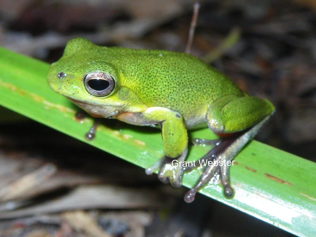 Litoria cooloolensis (Cooloola Sedge Frog)