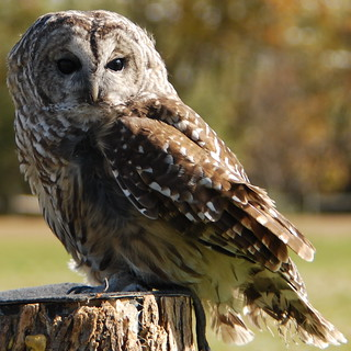 Rescued barred owl