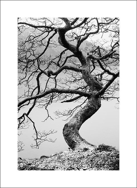 conistonwatertree2-100221s