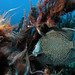 Fri, 11/11/2005 - 00:06 - Excess nutrient concentrations, caused by a nearby sewage outfall in Delray Beach (Florida), have likely contributed to the development of a cyanobacterial bloom on several downcurrent reefs in Florida.Photo Credit: Palm Beach County Reef Rescue | Marine Photobank