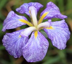 Iris ensata / 花菖蒲(ハナショウブ)