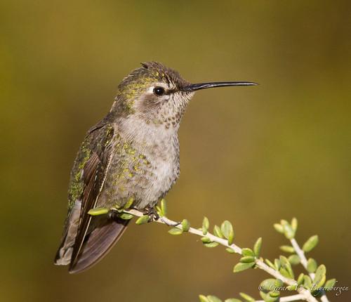 winter arizona birds desert buckeye trochilidae costashummingbird calyptecostae cohu