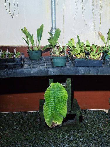 Unifoliate Streptocarpus