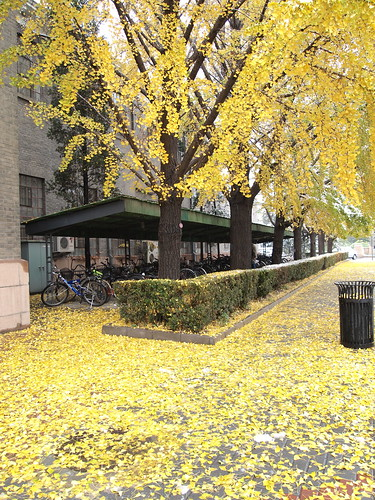 Ginkgo tree and fallen leaves