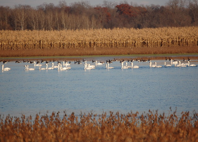 Trumpeters and geese in flooded soybean field