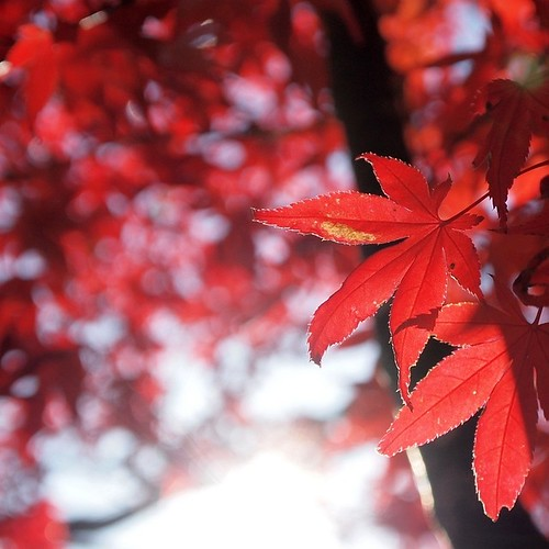 Scarlet tinged Japanese maple leaves