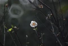 Plum 梅花