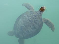 Turtle at Medina Souk