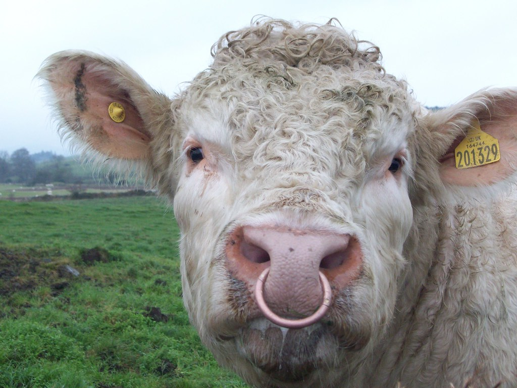 Charolais Bull With Ring In Nose Scottish Government Flickr