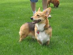 finnish spitz(0.0), norwegian lundehund(0.0), icelandic sheepdog(0.0), dog breed(1.0), animal(1.0), dog(1.0), pet(1.0), mammal(1.0), pembroke welsh corgi(1.0), welsh corgi(1.0),