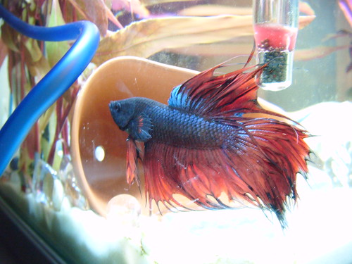 Help fin rot experience need advice 67194 for Betta fish medicine