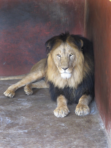 Ethiopian Black Mained Lion