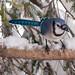Snow Birds II
