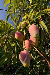 Manguier (Mangifera indica) en fruits (Guerrero, M…