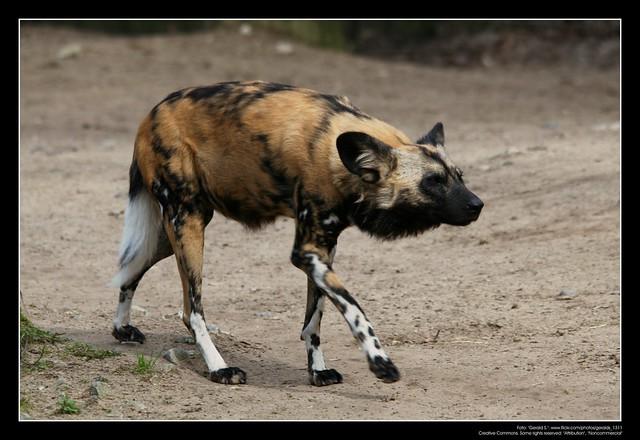 African Wild Dogs / Afrikanische Wildhunde (01)