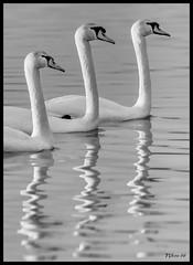 Swans at Horseshoe Lake State Park