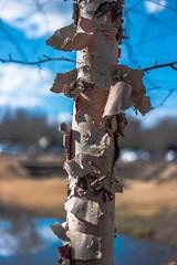 Such a-peeling bark - 2017-02-19_06