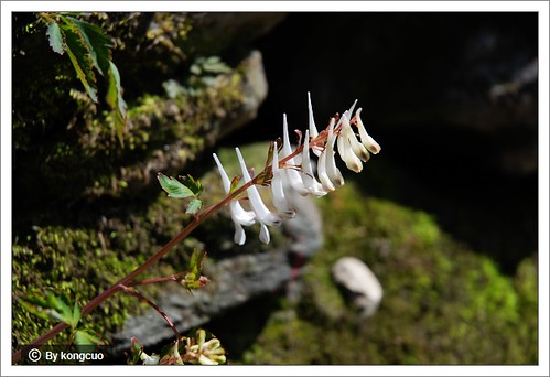 图:罂粟科紫堇属的白穗紫堇
