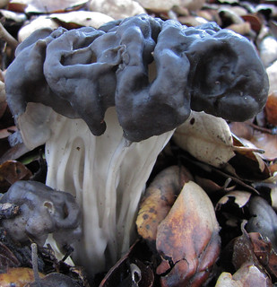 fluted black elfin saddle - helvella lacunosa