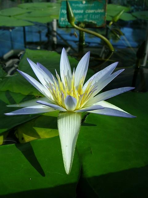 egyptian blue lotus flickr photo sharing. Black Bedroom Furniture Sets. Home Design Ideas