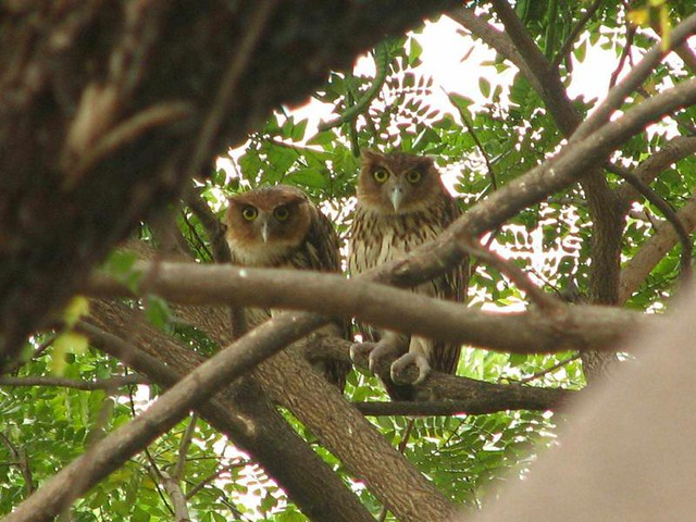 Rare Philippine Eagle Owls (a mom and dad) made this tree their home