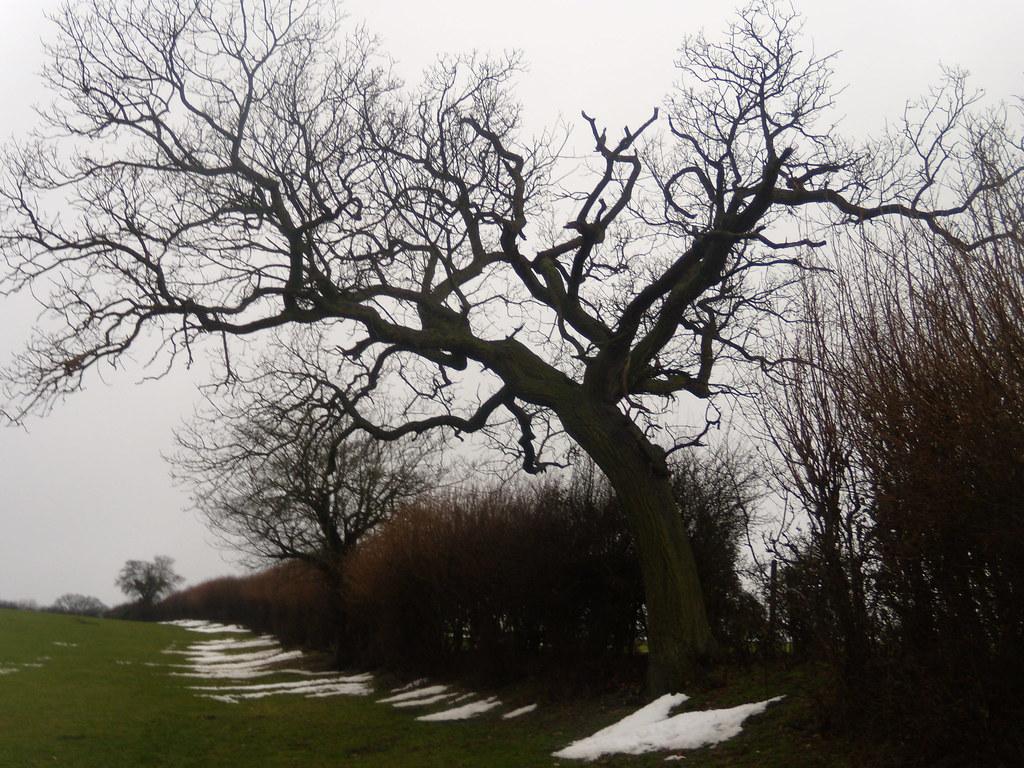 Bent tree DSCN8659 Chorleywood to Chesham