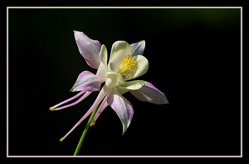 flowers texas columbine simplyflowers grapevinebotanicalgardens thepoweroftheflower beautifulworldchallenges aquilegiapubescens