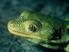 marine biology(0.0), mamba(0.0), elapidae(0.0), lacerta(0.0), animal(1.0), green lizard(1.0), reptile(1.0), organism(1.0), lizard(1.0), fauna(1.0), scaled reptile(1.0),