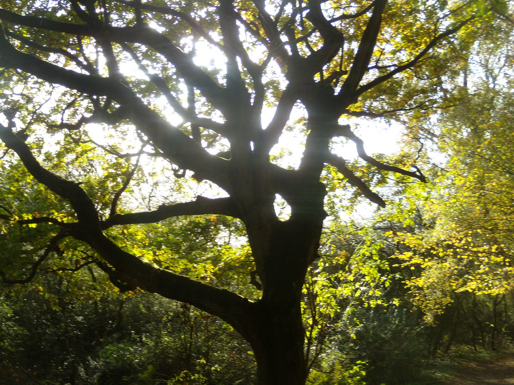 Tree silhouette Sevenoaks Circular