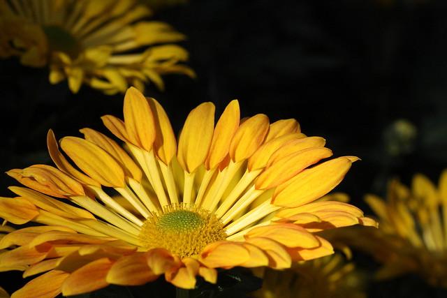 spoon mum chrysanthemum morifolium flickr photo sharing