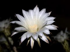flower, white, macro photography, flora, close-up, epiphyllum oxypetalum, cactus family, petal,