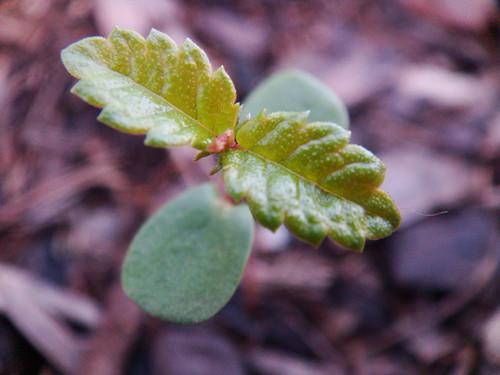 Bur Oak Seedling