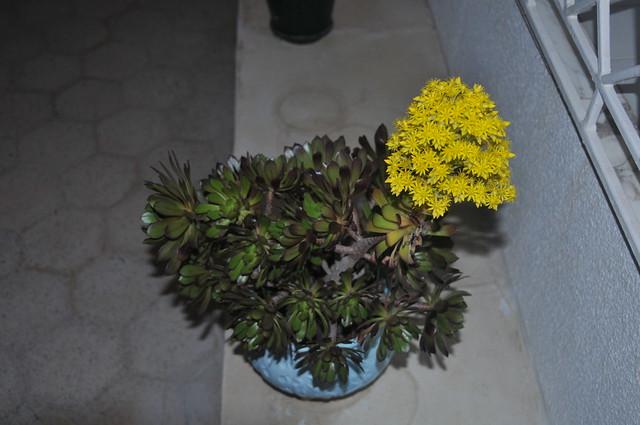 Une fleur de plante grasse flickr photo sharing - Plante grasse a fleur ...