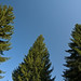 Small photo of Green Norway Spruce tree tops onto clear blue sky