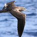 Wedge-tailed Shearwater - Photo (c) Marj Kibby, some rights reserved (CC BY-NC)