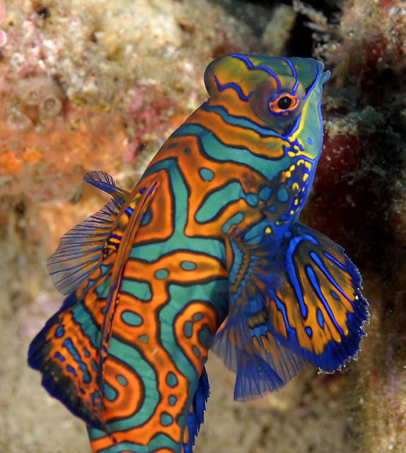 082_adj_DSC3810 mandarin fish