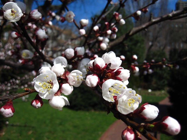"Prunus armerniaca in the Shakespeare Garden. ""Go bind thou up yon dangling Apricocks, which like unruly children, make their sire stoop with oppression of their prodigal weight."" -Richard II, III, iv, 29."